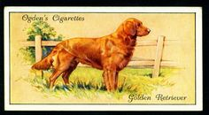 Golden Retriever - Ogden's Cigarettes, Dogs, set of Golden Retriever Names, Golden Retrievers, Dog Artwork, Birds Of America, Sweet Soul, Game Birds, Vintage Dog, China Painting, New York Public Library