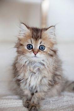 Bleu eyes cat