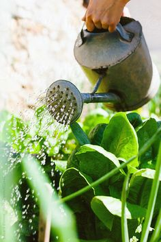 Closeup of a woman watering vegetables in the orchard. by BONNINSTUDIO - Stocksy United Green Garden, Herb Garden, Vegetable Garden, Garden Plants, Design Jardin, Farm Life, Country Life, Garden Inspiration, Happy Life