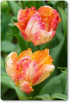 Parrot Tulip Apricot I have always loved parrot tulips. Bulb Flowers, Tulips Flowers, Exotic Flowers, Daffodils, Pansies, Spring Flowers, Beautiful Flowers, Parrot Tulips, White Tulips