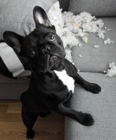 """""""Nope, not me, didn't do it"""", suspicious French Bulldog Puppy"""