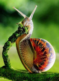 ^Garden snail