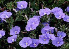 Liseron de Mauritanie (convolvulus mauritanicus).       Très jolie plante vivace, se couvrant de fleurs bleues de juin à octobre-novembre. Elle habille magnifiquement pots, rocailles et murets au soleil. Résiste à la sécheresse. Sol ordinaire, plutôt sec. Feuillage persistant sous climat doux. Port Prostré/Tapissant. H x L  : 20 x 60 cm Autrefois, ses graines placées dans un oreiller étaient réputées chasser les cauchemars.
