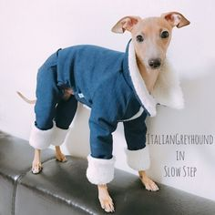italian greyhound clothes kevin :) ig clothes