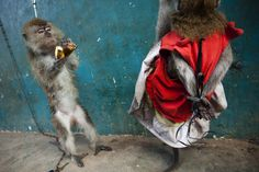 """Macaque monkeys who are trained for street performances, known as """"topeng monyet"""", are chained to a cage in """"monkey village"""", where the animals are trained to take part in street performances on June 1, 2011 in Jakarta, Indonesia. (Ulet Ifansasti/Getty Images AsiaPac)"""