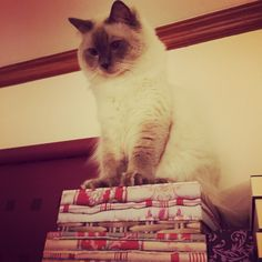 Top of the world#cats #kitten #lovecats #ragdoll #chinchilla #Persian #kitten #meow #lovecat