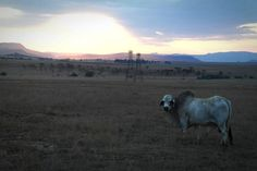 Discover the photography 136123387 by Debbie Adams – Explore millions of royalty-free pictures from outstanding photographers with EyeEm Cattle Farming, Livestock, Sky Landscape, Sunset Sky, Farm Animals, Agriculture, Grass, Mountain, Scene
