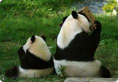 like father like son - Dump A Day Cute Baby Animals, Funny Animals, Animal Pictures, Cute Pictures, The Bear Family, Cute Panda, Hilarious, It's Funny, Funny Pics