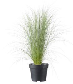 Op zoek naar Vedergras (Stipa tenuifolia 'Pony Tails') D 17 cm? Bekijk het product online of kom naar
