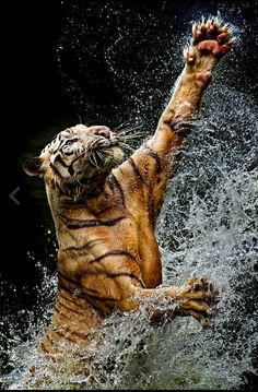 Tiger in the water at feeding time. Dramatic splashes and sprays of water droplets all around. (Yudi Lim 500px)