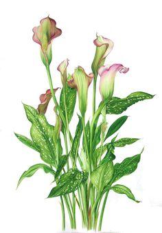 lys calla art botanique aquarelles fleurs pinterest aquarelle fleurs aquarelles et. Black Bedroom Furniture Sets. Home Design Ideas