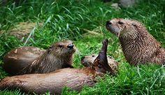 east devon otters - Google Search