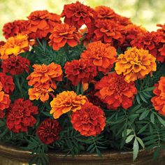 Fireball Marigold Seeds from Park Seed ✫♦๏☘‿SA Oct ༺✿༻☼๏♥๏写☆☀✨ ✤ ❀‿❀ ✫❁`💖~⊱ 🌹🌸🌹⊰✿⊱♛ ✧✿✧♡~♥⛩ ⚘☮️❋ Orange Flowers, Love Flowers, Beautiful Flowers, Zinnias, Petunias, Flower Seeds, Flower Pots, Marigold Flower, Marigolds In Garden