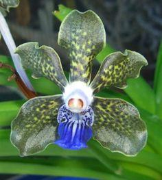 Vanda tessellata 'Black and Blue' Species Orchid Plant