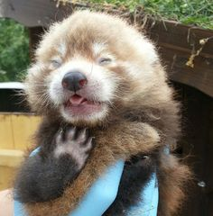 The Kolmården Wildlife Park in Sweden welcomed a Red Panda cub on June 10. The female cub, named Pralin, is doing well. Learn about and see more Red Pandas today on ZooBorns: http://www.zooborns.com/zooborns/2013/07/kolm%C3%A5rden-wildlife-park-welcomes-red-panda-cub.html