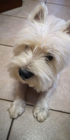 Highlands Terrier, West Highland Terrier, Westies, Muffin, Dogs, Animals, Animales, Animaux, Pet Dogs