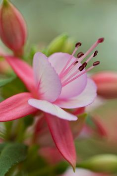 Fuchsia by Anna Kwa