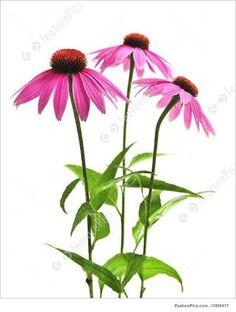 echinacea purpurea에 대한 이미지 검색결과