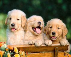 Puppies! Three adorable puppies #dogs