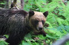 "Exclusive Photos 2 – 日本の陸で最も危険な野生動物『羆(ヒグマ)』と遭遇 北海道知床で – ""Wild Brown Bears,"" the Most Dangerous Animal on the Land of Japan, in Shiretoko Hokkaido - 田舎/地方…旅""イナタビ""&ライフスタイル… by 田舎旅する…バックパッカー with ""動く拠点""ハイエースと能登・岩車での移住・田舎暮らし"