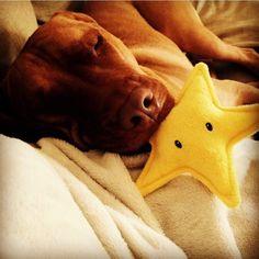 http://www.MyPitbullShop.com #puppy #pup #pitbull #pitbulls #cute #eyes…