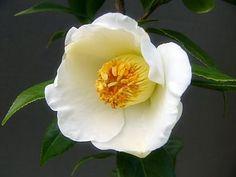 白西王母 シロセイオウボ Love Flowers, White Flowers, Red Roses, Beautiful Flowers, Flower Bird, Flower Crown, Arbors Trellis, Water Garden, Bloom
