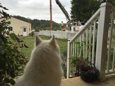 Teddy 🐕 is making sure the wooden pole is straight 👀  #teddy #samoyed #dog #samoyeds #dogs #dogsofinstagram #dogstagram #dogoftheday #doglover #doglovers #doglove #photos #picoftheday #picofday #pictureoftheday #pictureofday #photoaday #photooftheday #bestoftheday #samoyedsofinstagram #today #outside #electricity #electric #electrical #pole #wooden #wood #utility #work