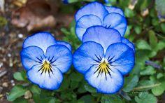 A collection of Pansy Flower photos. Folk Art Flowers, All Flowers, Exotic Flowers, Purple Flowers, Flower Art, Beautiful Flowers, Flowers Garden, Pansy Tattoo, Flower Tattoos
