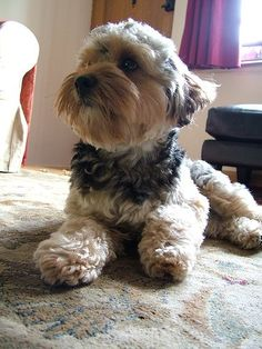yorkie poo photos - Google Search