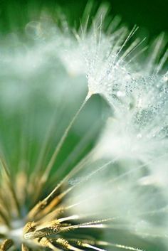 Close-up looking into a dandelion's puffy white orb (photo: Dave Melnychuk)