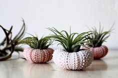 These are the cutest air plants!! I got them from Etsy the other day and they are sooo pretty!! #airplants #luftpflanzen #germanblogger #blogger_de #lifestyleblogger #plants #pflanzen #green #living #home #etsy #etsyshop