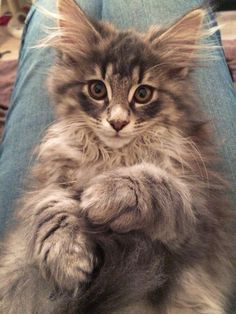 So fluffy kitten @yummypets #norvegian