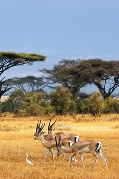 Antelopes in Africa. Tanzania National Parks, Kruger National Park, African Animals, African Safari, Beautiful Creatures, Animals Beautiful, Africa Destinations, Vintage Travel Posters, Africa Travel