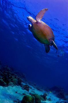 Green Sea Turtle on the reef underwater in Sipadan Island, Borneo - Malaysia. #seaturtle #turtle #Borneo