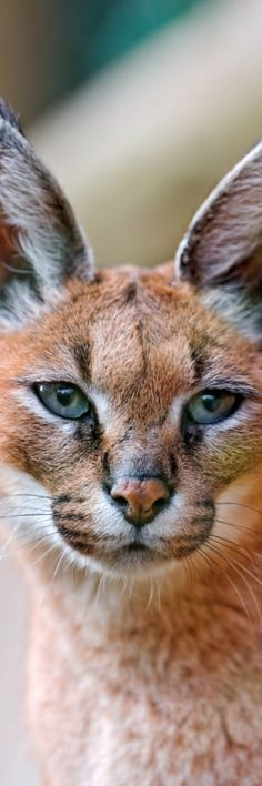 The Caracal -- Genetically linked to the Serval Cat in size and body shape.  This is not a Lynx; about 80% of the Pinners that pin this cat, misidentify it as a Lynx. The body structure of the Lynx is stockier; although both species have the trademark tuft on the tip of their ears --- that is all.  If you look at the Serval Cat, you'll immediately see the two are genetically related--and will stop misidentifying it.