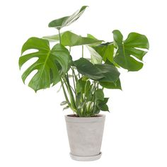 Green lifestyle store Monstera Deliciosa incl. pot Monstera Deliciosa, Outside Plants, How To Clean Furniture, Lifestyle Store, Roomspiration, Apartment Design, Cactus Plants, Indoor Plants, House Plants