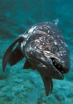 """The Coelacanth is the most famous of all """"living fossils"""""""
