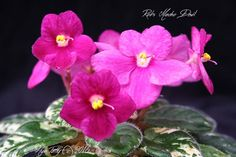 Rob's Macho Devil -  Ralf Robinson, Violet Barn. It makes the cutest variegated babies! Shown here in bloom 02-23-16, this is a semi-mini grown in a 3 oz solo cup. Blooms are about 3/4 of an inch wide.  Plants or leaves may be available.