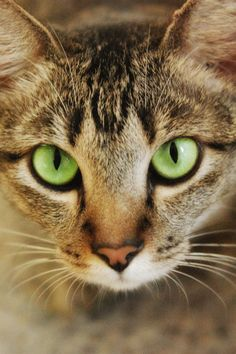 If YOU are a Cat Mom then you surely know a thing or two about the tabby cat but did you know that they have different patterns and a rich history too? Learn everything about tabby cats from their genetics to the personality! Pretty Cats, Beautiful Cats, Cute Cats, Funny Cats, Adorable Kittens, Cat Anime, Kitten Care, Orange Tabby Cats, Cat Aesthetic