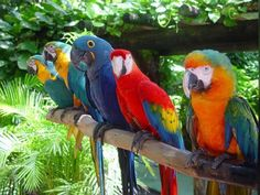 Family of Macaws