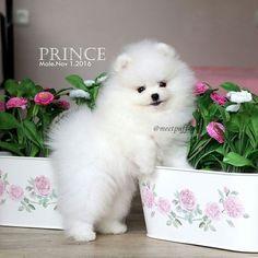 Buy & Sell POMERANIAN puppies online https://www.dogspuppiesforsale.com/pomeranian #Pomeranian