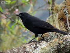 """TheChopi Blackbird(Gnorimopsar chopi) is a species ofbirdin the familyIcteridae & ismonotypicwithin thegenusGnorimopsar.It is found inArgentina,Bolivia,Brazil,Paraguay,Peru, &Uruguay. Its naturalhabitatsare drysavanna,subtropicalortropicalseasonally wet or flooded lowlandgrassland, pastureland, & heavily degraded formerforest. Wikipedia."" [Image: ""grauna ou passaro preto (gnorimopsar chopi).""]"
