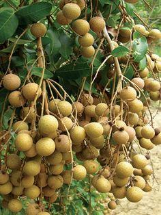 Tanaman Kelengkeng Diamond River Fruit Tree Garden, Dwarf Fruit Trees, Trees To Plant, Jade Plant Bonsai, Jade Plants, Fruit And Veg, Fruits And Veggies, Fresh Fruit, Exotic Fruit