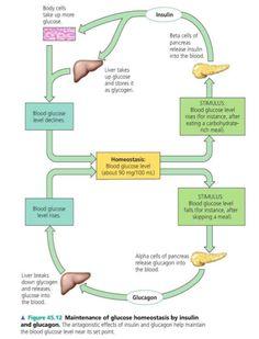 Endocrine System- Liver and Pancreas for glucose control Nursing Notes, Nursing Tips, Ob Nursing, Nursing Information, A Level Biology, Nursing Mnemonics, Human Anatomy And Physiology, Medical Science, Body Systems