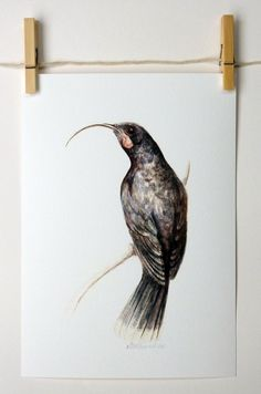 Huia a native New Zealand bird glicee print by ellaCute on Etsy (I just purchased :-) Very happy) Bird Sculpture, Sculptures, Kiwiana, Rare Flowers, Collaborative Art, Wildlife Art, Art Festival, Print Pictures, Bird Art