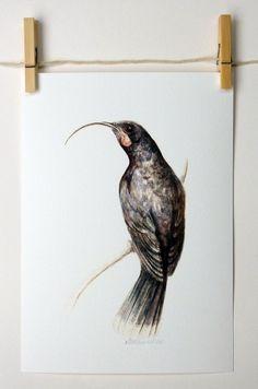 Huia a native New Zealand bird glicee print by ellaCute on Etsy,