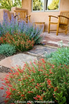 Red flower Penstemon pinifolius compactum, Pineleaf penstemon with 'Walker's Low' Catmint, Nepeta racemosa (mussinii) blue flower perennial by patio path in New Mexico drought tolerant garden
