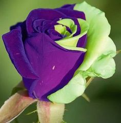 Purple Green Mix Rose Bud
