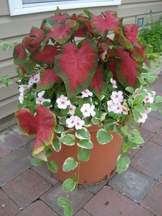 container garden : beautiful mix of colors, caladium and vinca