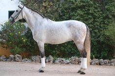Grey Lusitano gelding Urco in Portugal